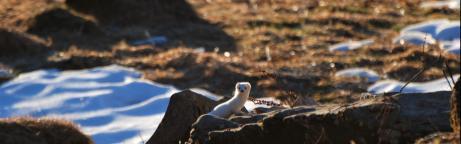 Ein Hermelin neben einem Schneefleck im Winterfell