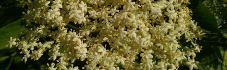 Nahaufnahme von Holunderblüten