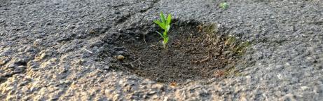 Junge Pflanze wächst aus einem Loch im Asphalt