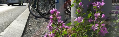 Blühende violette wilde Malve am Strassenrand mit Verkehr im Hintergrund