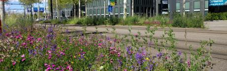 Farbige Wildblumen auf einer Verkehrsinsel in der Stadt Zürich