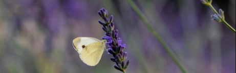 Ein Weissling auf Lavendel