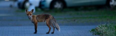 Fuchs im Siedlungsraum