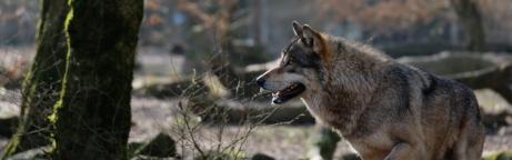 Symbolbild eines Wolfes