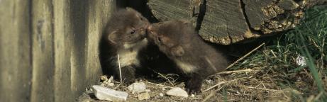 zwei junge Marder unter einem Holzstamm