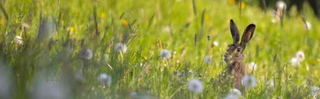 Ein Feldhase sitzt in einer Blumenwiese