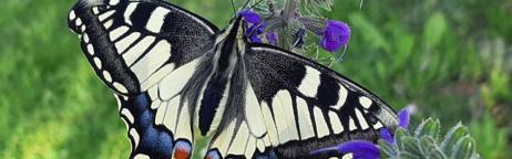 Schwalbenschwanz auf Blüte