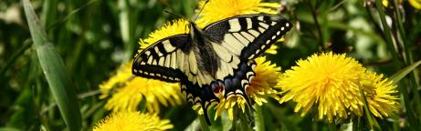Schwalbenschwanz auf einer Löwenzahnblüte