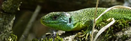 Smaragdeidechse auf Moosboden