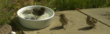 Haussperlinge nehmen ein Wasserbad