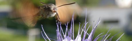 Taubenschwänzchen im Schwirrflug