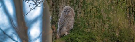 Junger Waldkauz sitzt auf dem dicken bemoosten Ast eines alten Waldbaums