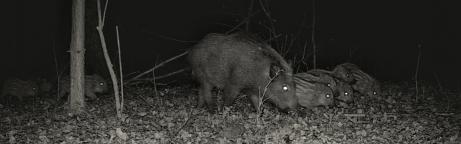 Wildschweinmutter mit 8 Frischlingen in einem nächtlichen Wald unterwegs