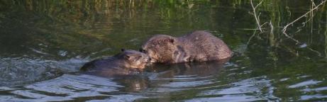 Deux castors dans l'eau
