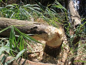 Un arbre abattu par un castor, on voit bien les coups de dents