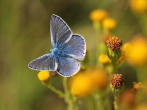 Un azuré bleu posé sur une fleur jaune.