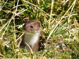 Mauswiesel schaut aus hohem Gras
