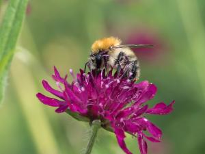 Ackerhummel auf pinker Blüte