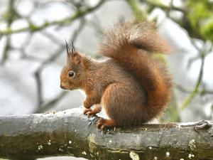 Rotes Eichhörnchen ist nass vom Regen.