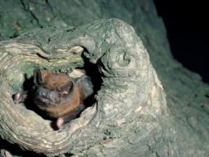 Grosser Abendsegler schaut aus Baumhöhle heraus