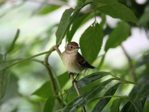 Trauerschnäpper sitzt in einem Baum