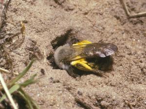 Die Weiden-Sandbiene legt ihre Nester im Boden an.