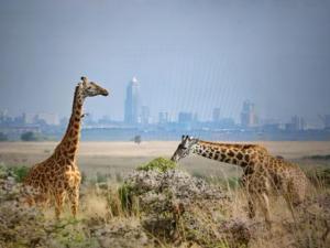 Giraffen in der Savanne, im Hintergrund einer grossen Stadt mit Wolkenkratzern
