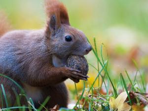 Eichhörnchen nagt an Baumnuss