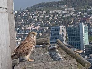 Turmfalke der Live-Kamera-Aufnahme in Zürich