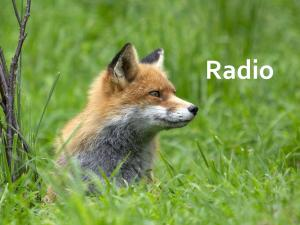 Junger Fuchs in der Wiese.