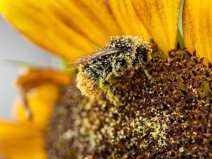 Hummel mit Pollen an Blüte