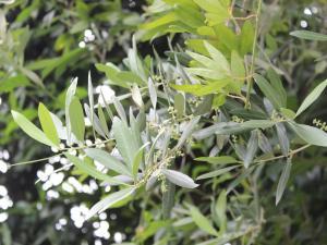 Olivenbaumzweig mit Blütenknospen