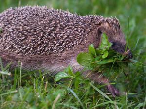 Igel trägt Gras zu seinem Nest