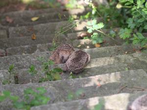 Eine Igelfamilie bewältigt eine Steintreppe