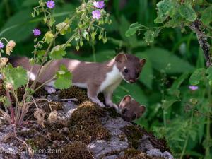 Mauswiesel mit Jungem auf Stein