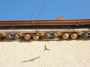 Mehlschwalben bim Anflug an Kunstnester.
