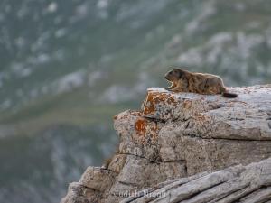 Marmotte couchée sur un rocher en montagne