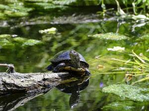 Eine Schildkröte auf einem Baumstamm im Teich