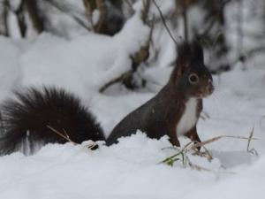 Ein Eichhörnchen im Schnee