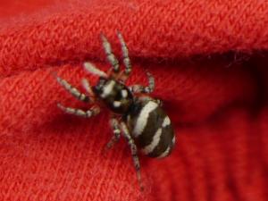 Eine Zebraspinne vor rotem Hintergrund