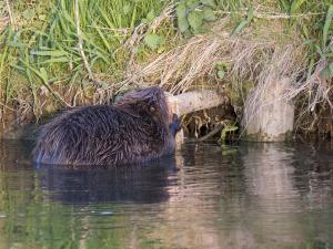 Un castor ronge un tronc au bord d'un plan d'eau