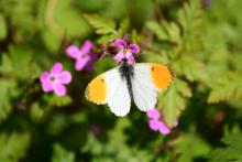 Männlicher Aurorafalter auf pinken Blüten