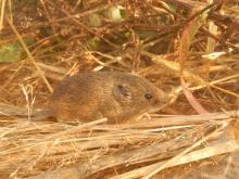 Feldmaus sitzt zwischen Grashalmen auf dem Erdboden