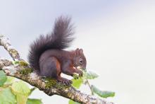 Eichhörnchen sitzt auf Baum und knabbert an einer Nuss