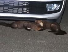 Zwei Steinmarder rangeln unter einem parkierten Auto