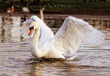 Höckerschwan mit geöffneten Flügeln