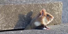 EIn Hamster schaut aus einem Spalt