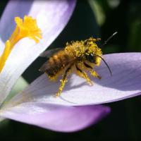Eine Rote Mauerbiene sitzt pollenbestäubt auf einer lila Krokusblüte.