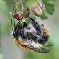 Die Ackerhummel nimt Nektrar von einer Stachelbeere-Blüte auf