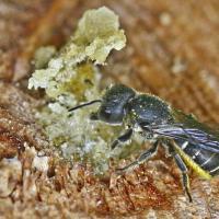 Die Löcherbiene baut ihren Nestverschluss aus Harz